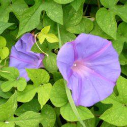 Fleurs de Bach et elixirs floraux